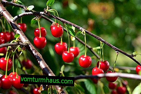 Funktioner av att odla och ta hand om steppkörsbär