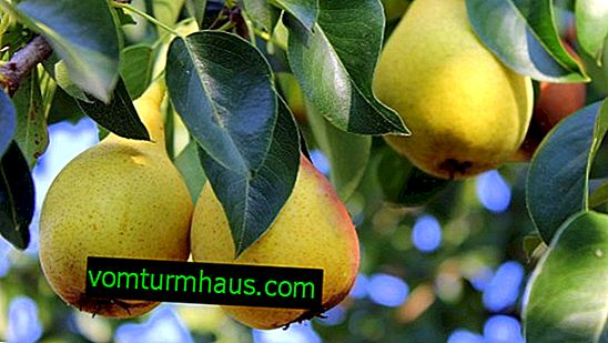 Features of growing and caring for a pear Autumn sweet