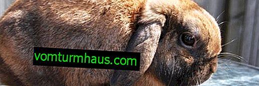Lop-eared rabbit ram: cins tanımı, bakımı ve bakımı