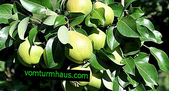 Características de plantar y cultivar variedades de pera Pamyat Zhegalov