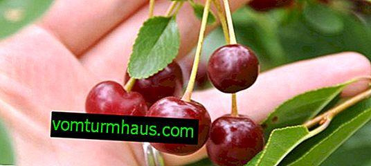 Características Cherry Carmine Jewel