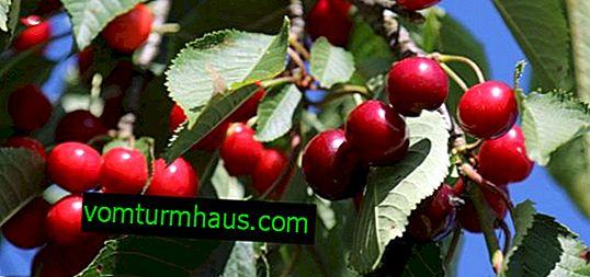 Caratteristiche di piantare e coltivare ciliegie Turgenevka