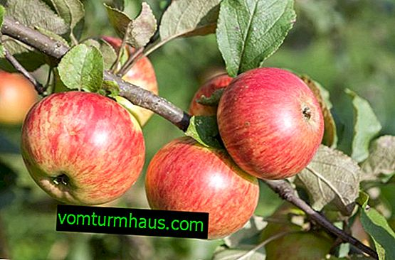 Características do plantio e cuidado da macieira Medunitsa