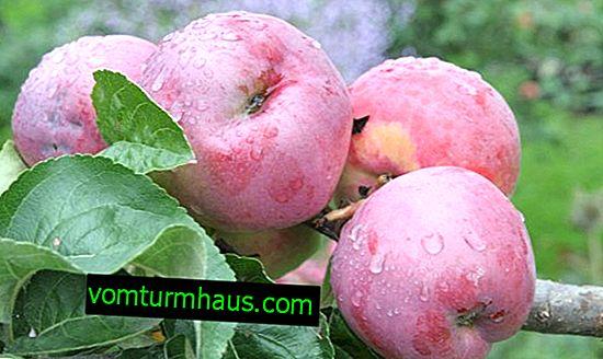 Grado di melo Grafsky Gift - caratteristiche di coltivazione e cura