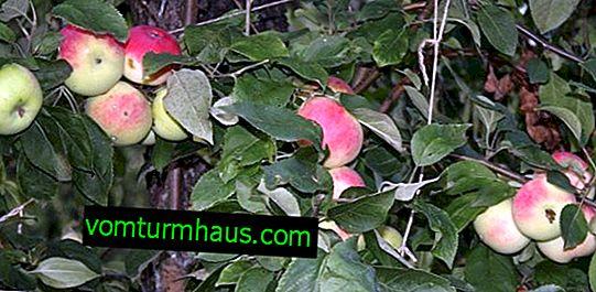 Funkcje sadzenia i pielęgnacji jabłoni Mantet