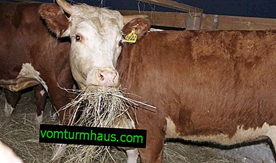 What to do if cows do not eat hay