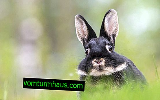 อะไรที่ทำให้ท้องอืดในกระต่าย: สาเหตุการรักษาและการป้องกัน