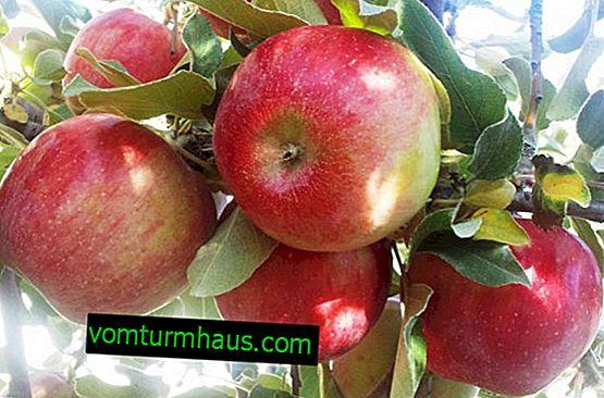 Funktioner ved at vokse og pleje æbletræerne Honey Crisp