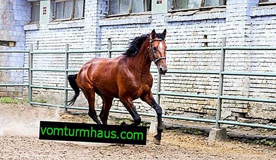 Trotón ruso raza de caballos