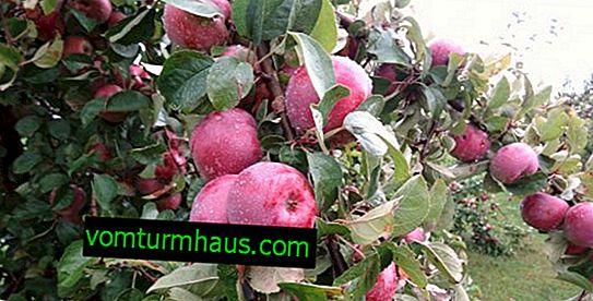 """Funktioner av plantering och vård av äppelträdsorten """"Imant"""""""