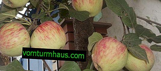 Botanický opis a poľnohospodárska technológia kultivar jabĺk kultivar Bashkir pekný