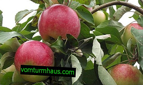 Apple-tree Melba: description and description, planting and care, photo