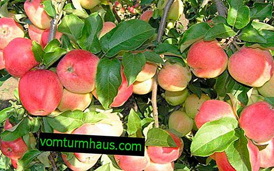Características de siembra y cuidado de la variedad de manzana Kandil Oryol