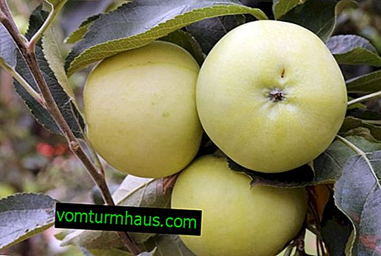 Characteristics and features of the cultivation of the apple variety Pobeda