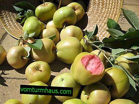 Funktioner för odling och skötsel av äpplesorten Rosa pärlor