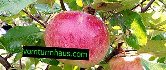 Podrobné charakteristiky a vlastnosti rostoucích jabloní Jonathan