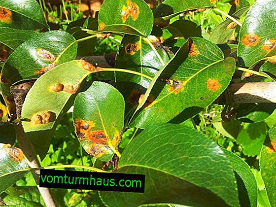 Zakaj so listi hruške prekriti z rumenimi pikami?