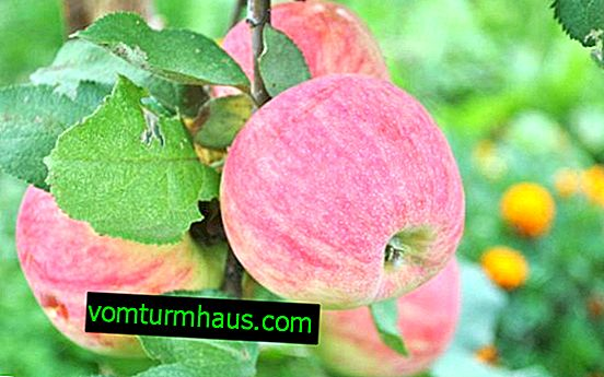 Merkmale der Pflanzung und Pflege von Arkadik-Apfelbäumen