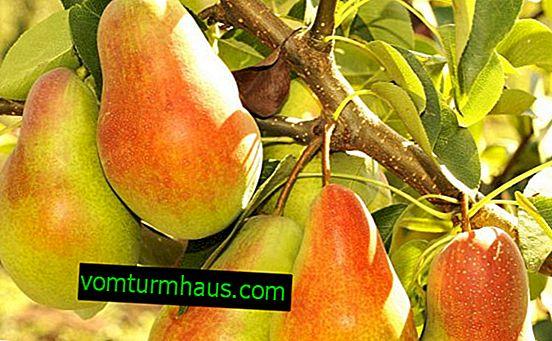 Funkce výsadby a péče o hrušku odrůdy Talgar krásy
