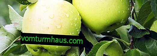Variedad de manzanos Golden Delicious - características y características del cultivo