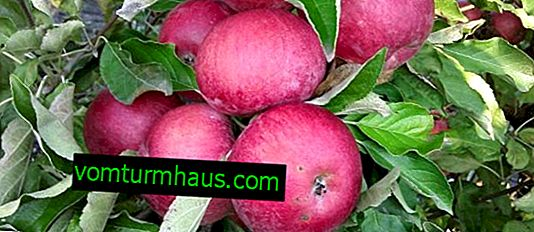 Features of growing and caring for the apple variety Idared