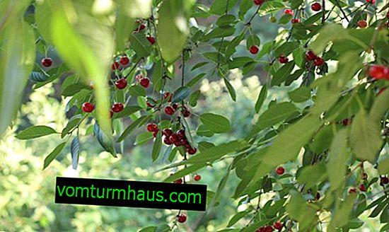 Kirsebærformeringsmetoder, plantning og efterpleje