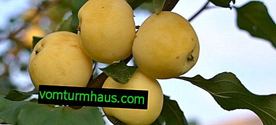 Funktioner ved plantning og pleje af Uralskoye-æbletræet