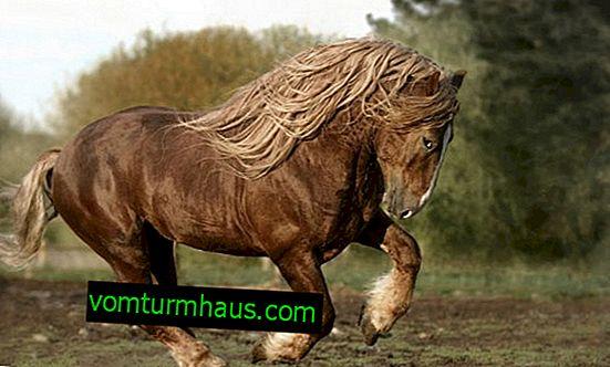 Rysk tunghäst: egenskaper, egenskaper hos att hålla sig hemma