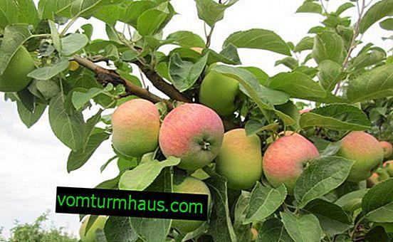 Podrobné vlastnosti a vlastnosti pěstovaných jablek Borovinka