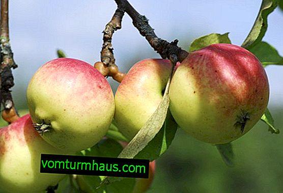 Manzano Golden Ranet: una descripción botánica de la variedad y la tecnología agrícola para el cultivo de plántulas