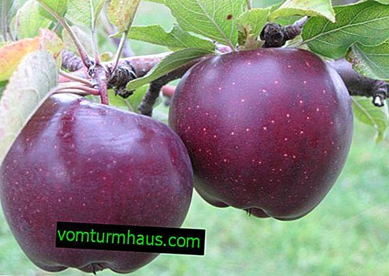 Sorta jablan Darunok: botanični opis in značilnosti, kmetijstvo