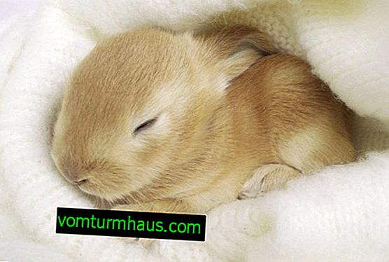 How rabbits sleep: how much and how often, features of sleep