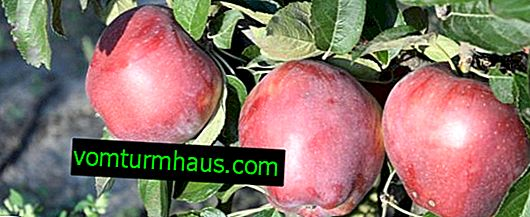 Features of planting and care of the apple variety Richard