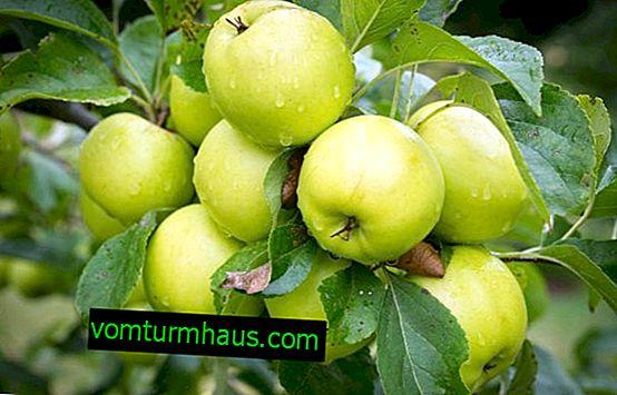 ลักษณะเฉพาะของการปลูกและดูแลต้นแอปเปิ้ล Rossiyanka