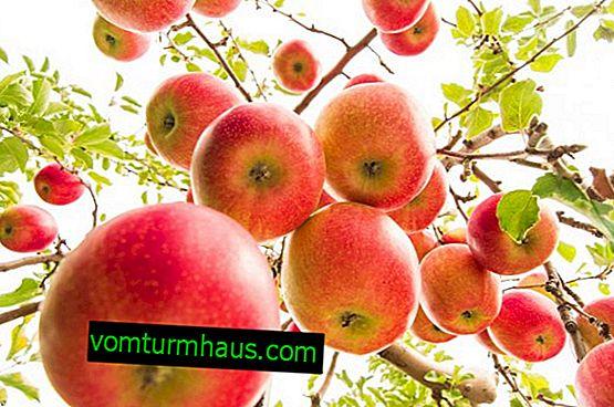 Botanisk beskrivelse og landbrugsteknik til dyrkning af æbletræer af sorten Pepin safran