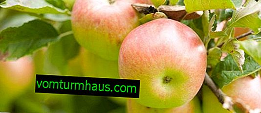 Hlavné vlastnosti jabloní Sladká blaženosť