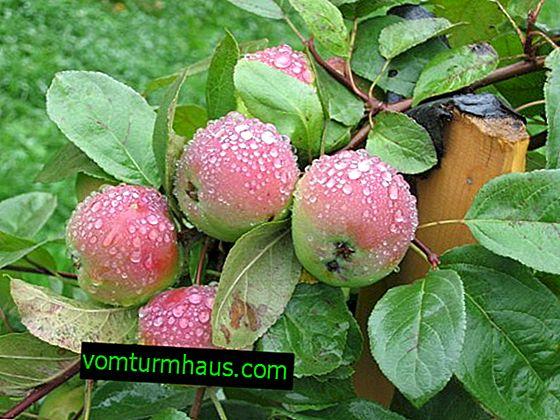 Elma çeşidi tazeliği: ekim tanımı, özellikleri ve özellikleri