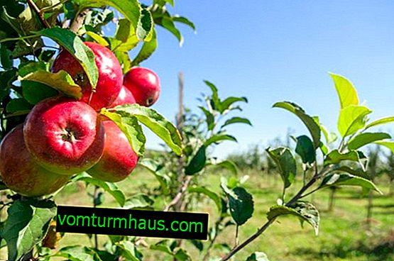 Botanični opis in agrotehnologija gojenja jabolčnih dreves Modi