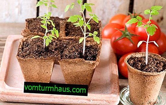 ¿Cuándo sembrar tomates para plántulas en 2019 según el calendario lunar?