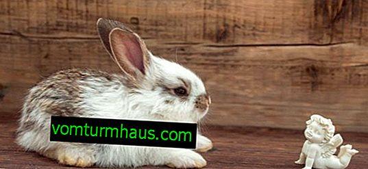 Por que as patas do coelho falharam: razões e tratamento