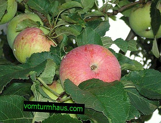 Funkcje sadzenia i pielęgnacji jabłoni Spartak
