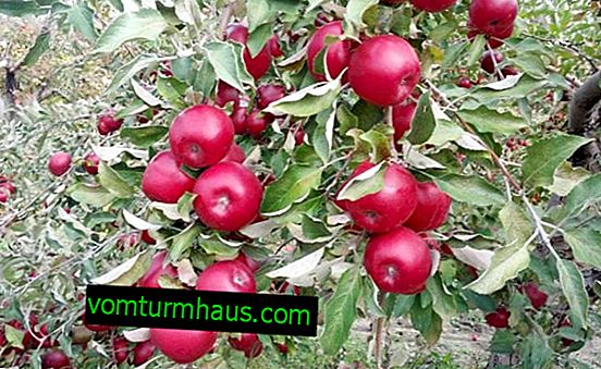 Variety of apple trees Starkrimson: characteristics and features of cultivation