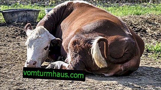 Postpartum paresis in cows: symptoms and treatment