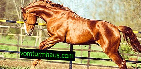Pferd anziehen: Rassenbeschreibung, Zucht- und Pflegeeigenschaften