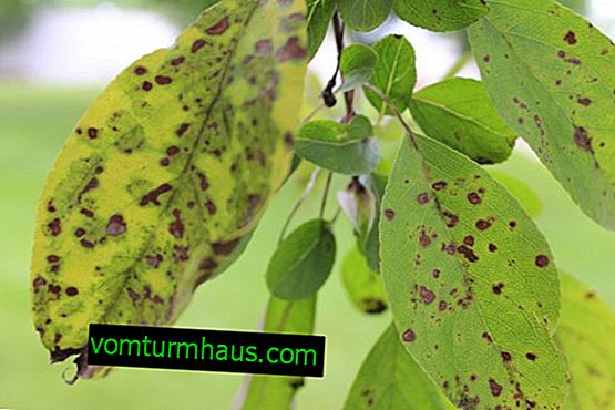 Fighting scab on apple and pear trees