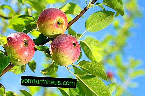 Culture et entretien de la variété de pomme Elena