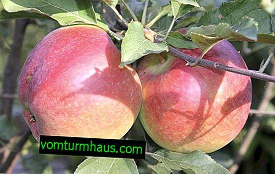 Ботаническо описание и селскостопанска технология Отглеждане на ябълково дърво Ligol