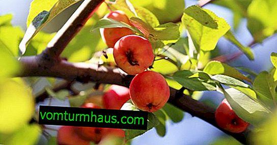 Značajke sadnje i njege divlje jabuke