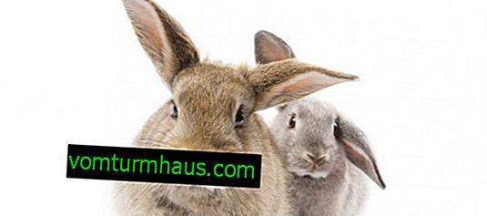 ¿Cómo engordar un conejo para carne en poco tiempo?