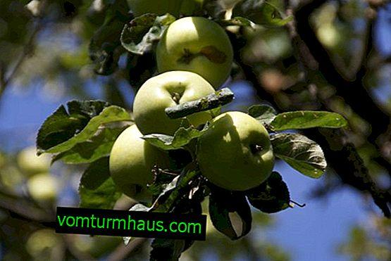 Funktioner ved plantning af æbletræer Antonovka
